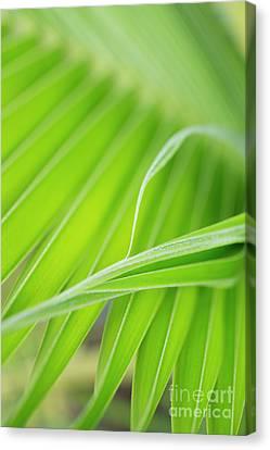 Palm Leaf Detail Canvas Print by Charmian Vistaunet