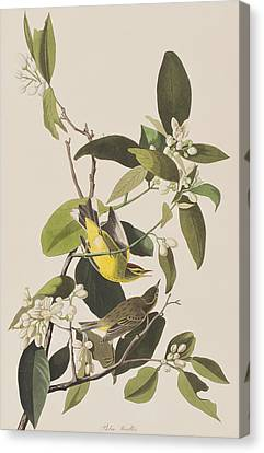 Palm Warbler Canvas Print by John James Audubon