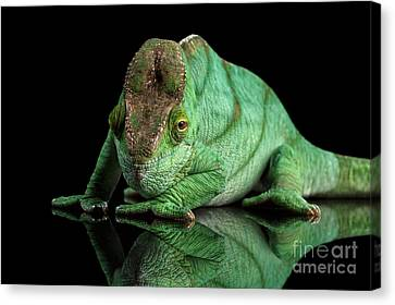 Parson Chameleon, Calumma Parsoni Orange Eye On Black Canvas Print by Sergey Taran