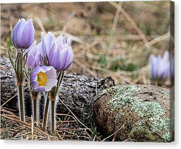 Pasque Flower Canvas Print