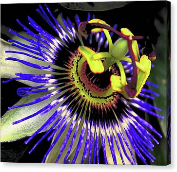 Passiflora Canvas Print - Passion Flower by Martin Newman