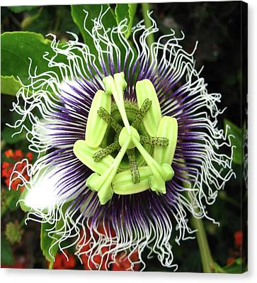 Passion Flower Canvas Print by Mary Ellen Frazee