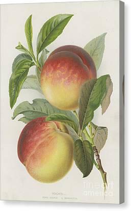 Peaches Canvas Print by English School