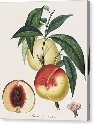 Peaches Canvas Print by Pierre Antoine Poiteau