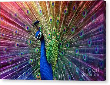 Hannes Cmarits Canvas Print - Peacock by Hannes Cmarits