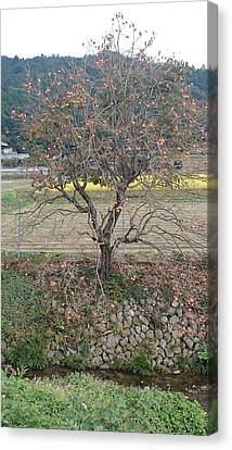 Persimmons  Canvas Print