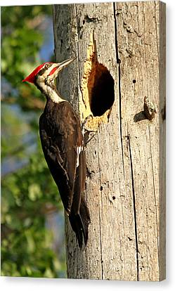 Pileated #26 Canvas Print by James F Towne