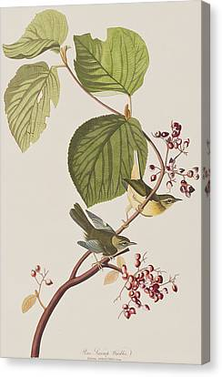 Pine Swamp Warbler Canvas Print by John James Audubon