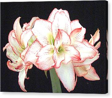 Pink And White Amaryllis Group Canvas Print by Frederic Kohli
