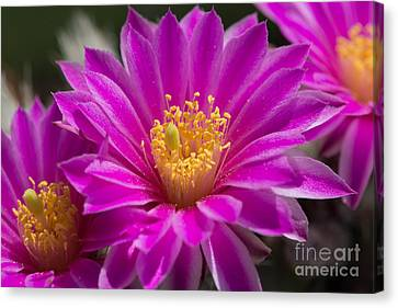 Canvas Print featuring the photograph Pink Hedgehog Cactus Flower by Michael Moriarty