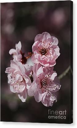 Canvas Print - Pink Prunus Blossom by Joy Watson