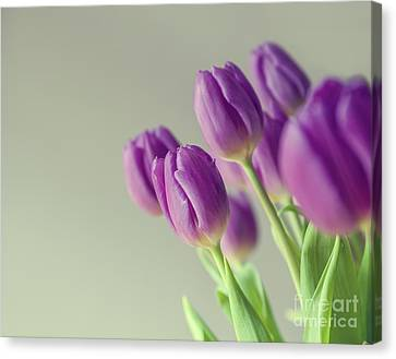 Pink Tulips Canvas Print by Patricia Hofmeester