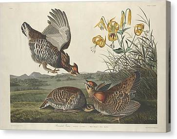 Pinnated Grouse Canvas Print