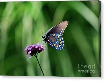 Althea Canvas Print - Pipevine Swallowtail Butterfly 2011 by Karen Adams