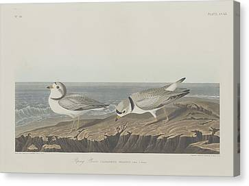 Seagull Canvas Print - Piping Plover by Dreyer Wildlife Print Collections