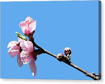 Canvas Print featuring the photograph Plum Blossoms by Kristin Elmquist
