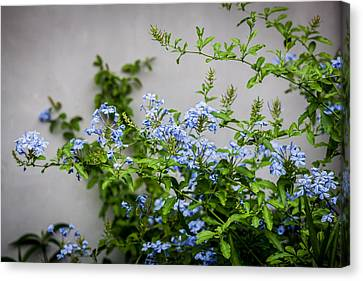 Plumbago Auriculata Painted  Canvas Print by Rich Franco