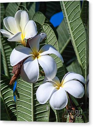 Plumeria Canvas Print by Roselynne Broussard