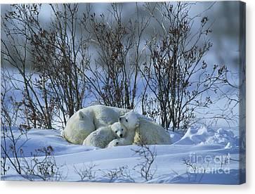 Polar Bear And Cubs Canvas Print
