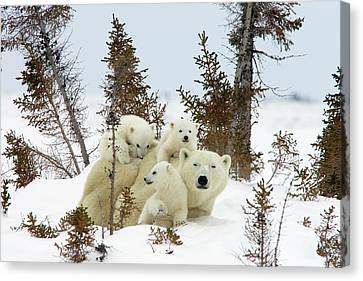 Polar Bear Ursus Maritimus Trio Canvas Print