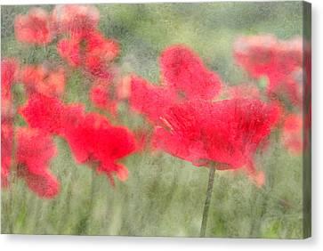 Poppies Canvas Print by Catherine Alfidi