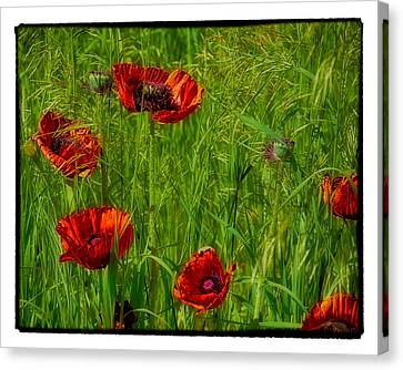 Poppies Canvas Print by Hugh Smith