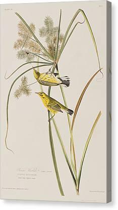 Prairie Warbler Canvas Print by John James Audubon
