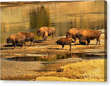 Canvas Print featuring the photograph Gathering To Cross The Yellowstone River by Adam Jewell