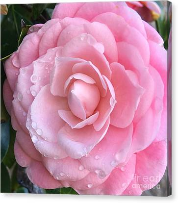 Pretty Pink Camellia Canvas Print by Carol Groenen