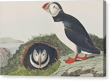 Puffin Canvas Print - Puffin by John James Audubon