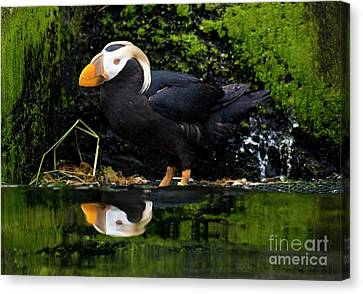Puffin Reflected Canvas Print