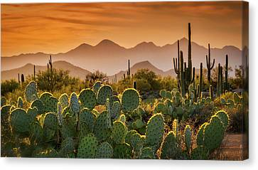 Pure Sonoran Gold  Canvas Print