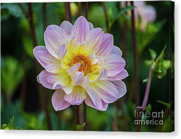 Purple And Yellow Dahlia Canvas Print by Mandy Judson