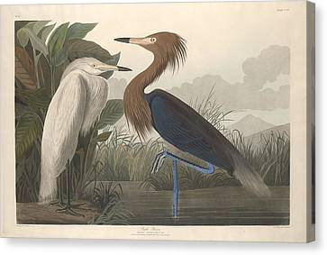 Heron Canvas Print - Purple Heron by Dreyer Wildlife Print Collections