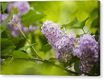 Bough Canvas Print - Purple Lilac by Nailia Schwarz