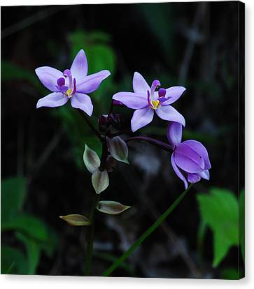 Purple Orchids 2 Canvas Print by Michael Peychich