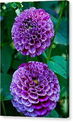 Purple Passion Dahlia  Canvas Print
