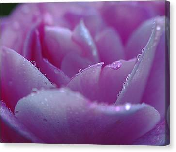 Purple Rose Photography Canvas Print by Juergen Roth