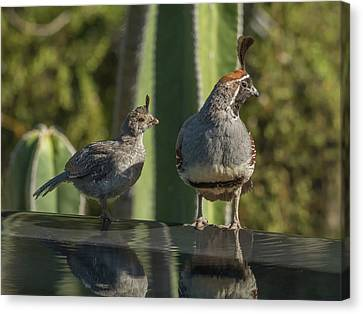 Quail Juvenile And Adult 3061 Canvas Print by Tam Ryan