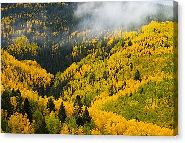 Quaking Aspen And Ponderosa Pine Trees Canvas Print by Ralph Lee Hopkins