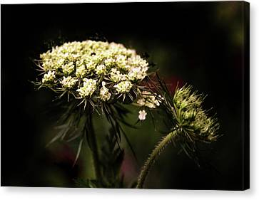 Queen Anne's Lace Canvas Print by Jessica Jenney
