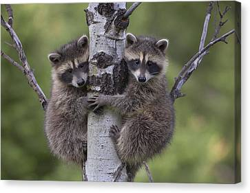 Raccoon Two Babies Climbing Tree North Canvas Print by Tim Fitzharris