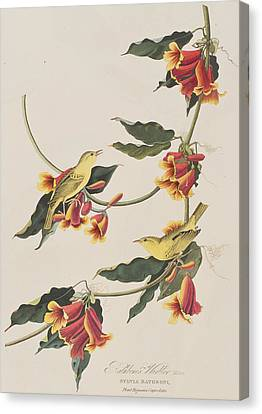 Rathbone Warbler Canvas Print by John James Audubon