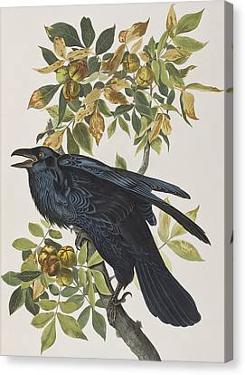 Raven Canvas Print by John James Audubon