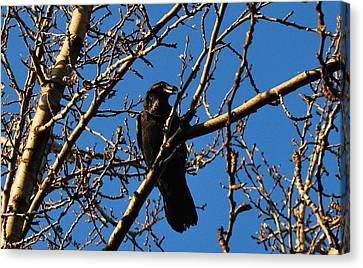 Raven Canvas Print by Marilynne Bull