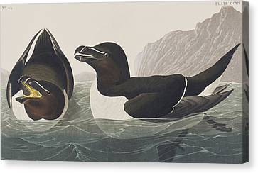 Razor Bill Canvas Print by John James Audubon