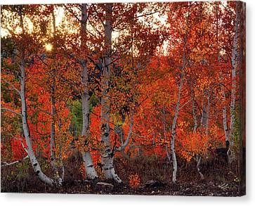 Red Aspens Canvas Print