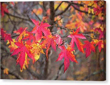 Canvas Print - Red Autumn by Karol Livote