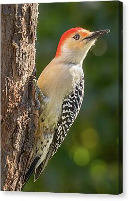 Red Bellied Woodpecker Canvas Print by Jim Hughes