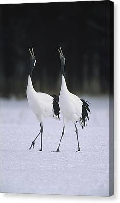 Red-crowned Crane Grus Japonensis Pair Canvas Print